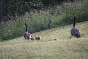 Geese 2014 (38)