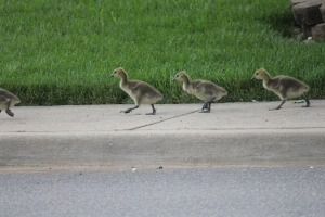 Geese 2014 (42)