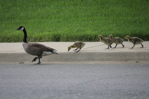 Geese 2014 (43)