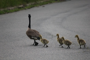 Geese 2014 (46)