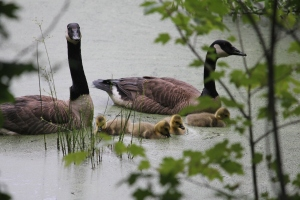 Geese with babies (14)