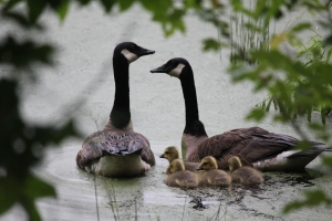 Geese with babies (18)